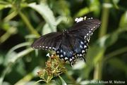 20th Aug 2020 - Spicebush Swallowtail