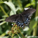 Spicebush Swallowtail by falcon11