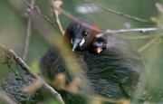 20th Aug 2020 - Little grebe and chick from the archives