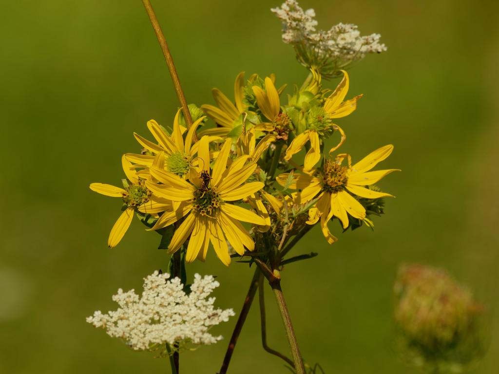 prairie rosinweed by rminer