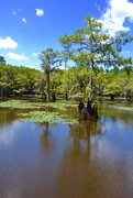 20th Aug 2020 - A Bald Cypress in Caddo Lake