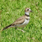 20th Aug 2020 - Killdeer