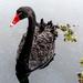 Swan by sugarmuser