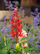21st Aug 2020 - Red Lupine