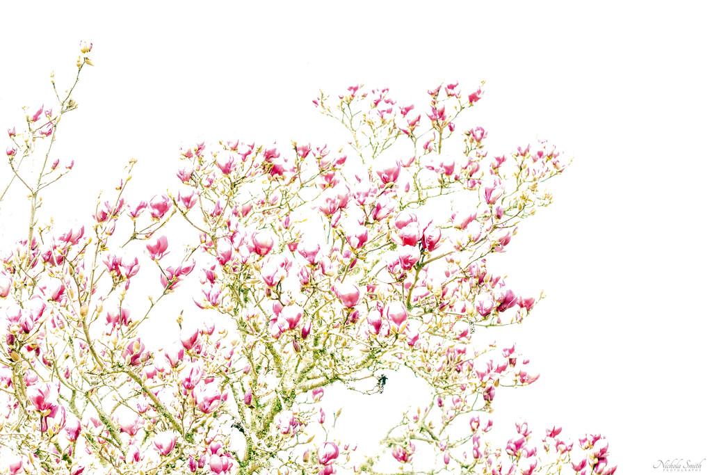 Magnolia by nickspicsnz