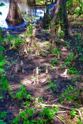 "21st Aug 2020 - Bald Cypress ""knees"""