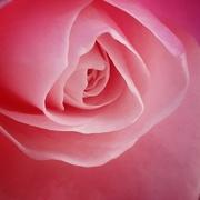 21st Aug 2020 - Rose