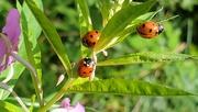 19th Aug 2020 - Ladybirds