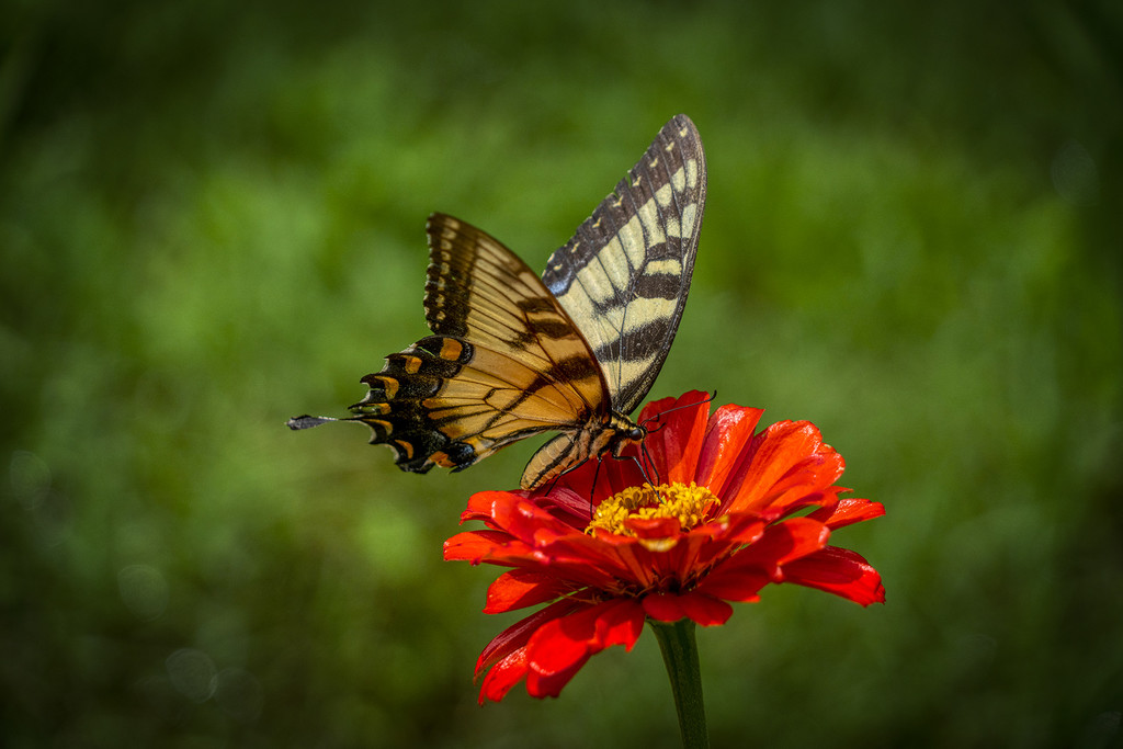 Eastern Tiger Swallowtail by k9photo