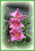 13th Aug 2020 - Three Lilies