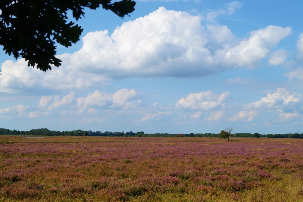 blooming heather by gijsje