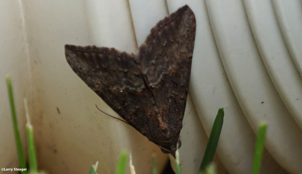 Brown Angle Shades moth by larrysphotos