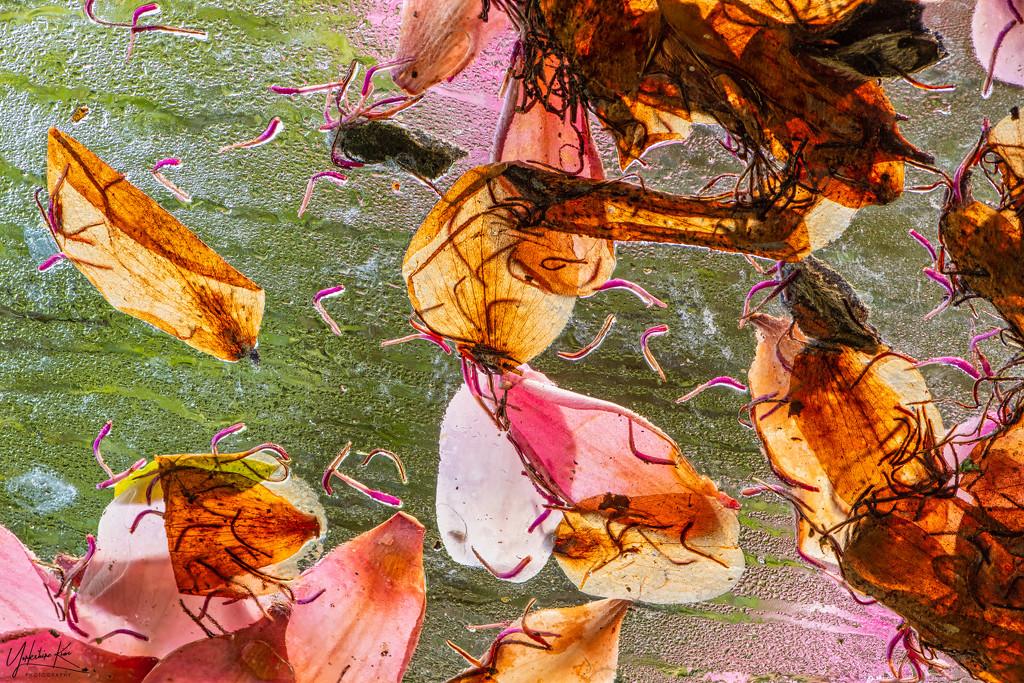 Camellia Petals by yorkshirekiwi
