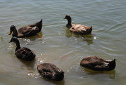 15th Aug 2020 - Ducks