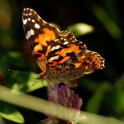 21st Aug 2020 - painted lady butterfly