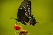 21st Aug 2020 - Eastern Black Swallowtail