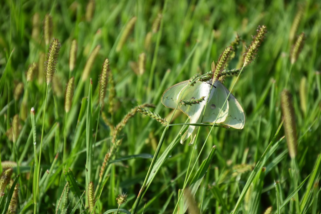 Luna Moth by genealogygenie