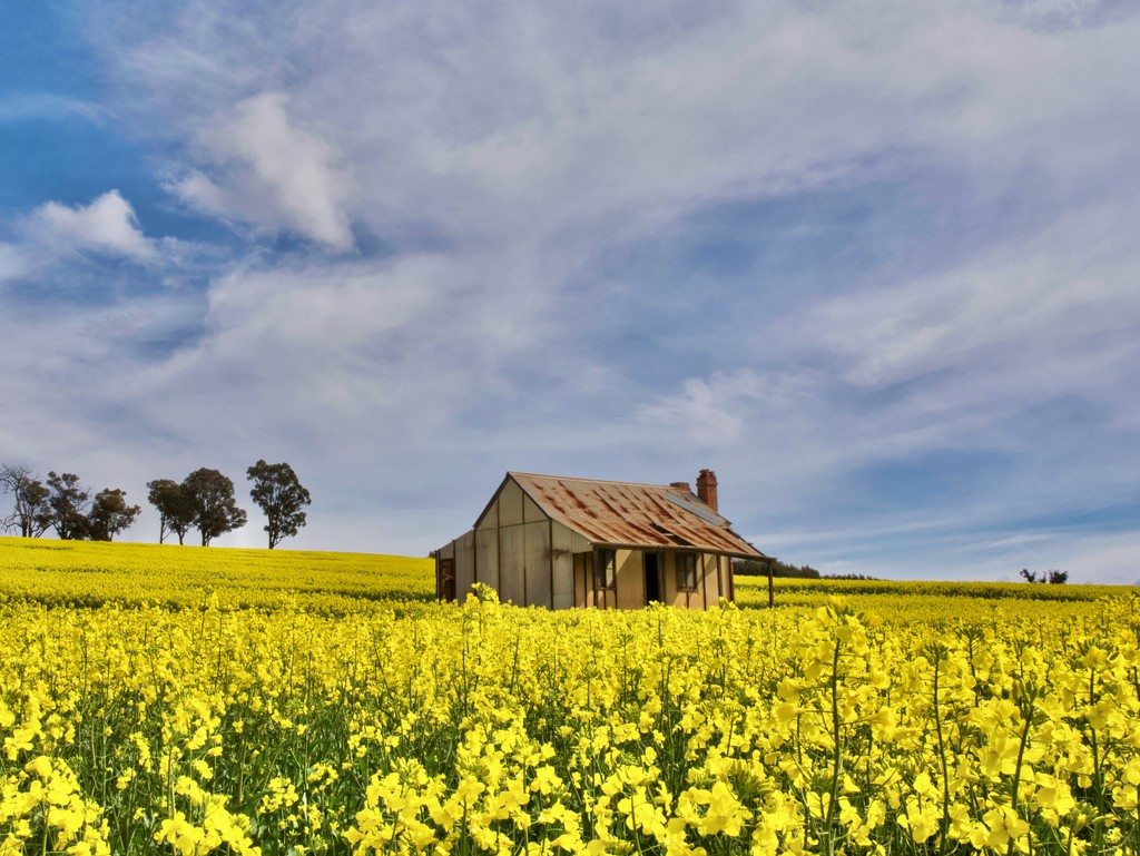 A Cottage In The Canola P8210470 by merrelyn
