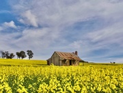 21st Aug 2020 - A Cottage In The Canola P8210470