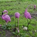 I Found Some Flamingos On Friday DSC_0595