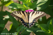 21st Aug 2020 - Tiger Swallowtail
