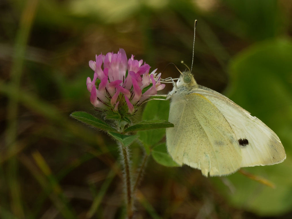 cabbage white butterfly by rminer