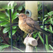Mrs Blackbird  by beryl