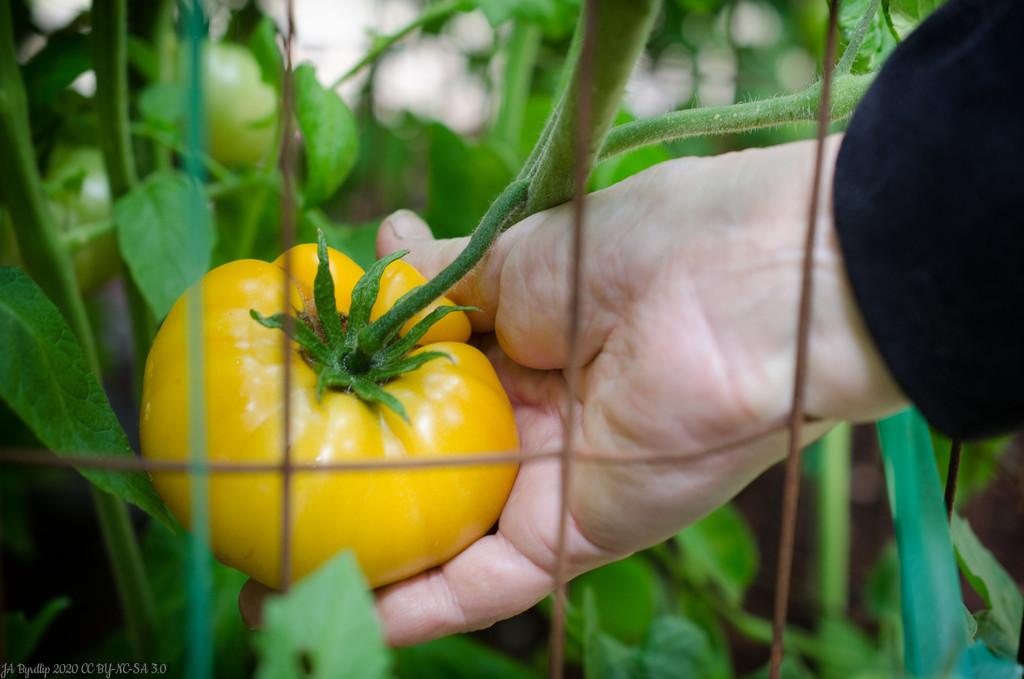 Name That Tomato by byrdlip