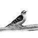 Downy Woodpecker in B&W
