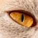 Golden Eye by yorkshirekiwi