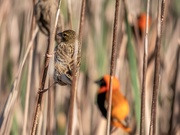 23rd Aug 2020 - Life in the reeds