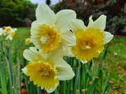 23rd Aug 2020 - Daffodils in spring