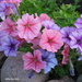 Pink and Purple Petunias by selkie