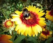 21st Aug 2020 - Buff Tail Bumblebee