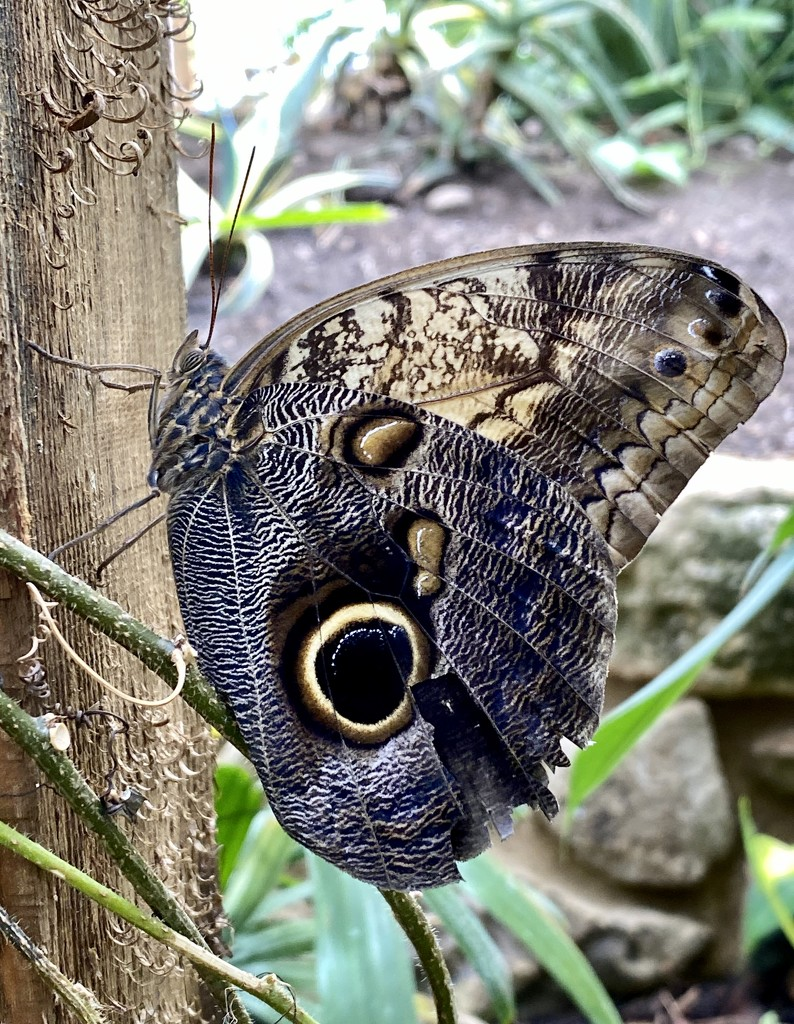 Yellow Edged Giant Owl butterfly by tinley23
