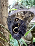 21st Aug 2020 - Yellow Edged Giant Owl butterfly