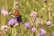 23rd Aug 2020 - Small Tortoiseshell