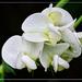 White Sweet Pea. by gardencat