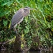 LHG-0912-Great Blue Heron by rontu