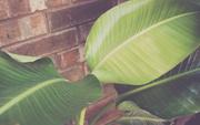 13th Aug 2020 - Three Leaves