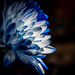 Blue Chrysanthemum in the Light