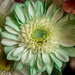 Mint Green Chrysanthemum