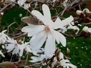 24th Aug 2020 - Magnolia stellata