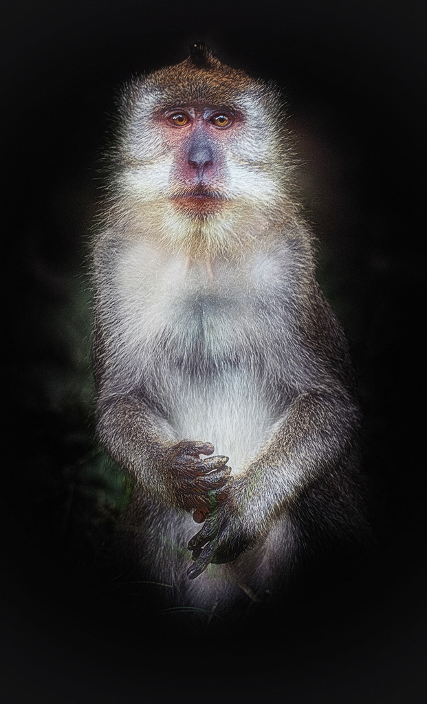macaque by jerome
