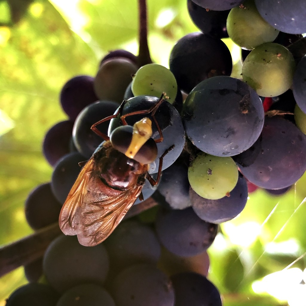 Hornet mimic hoverfly by mastermek