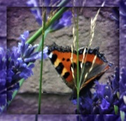 24th Aug 2020 - Butterfly in the Lavender