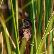 24th Aug 2020 - Marsh Wren