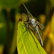 24th Aug 2020 - Eastern Pondhawk dragonfly