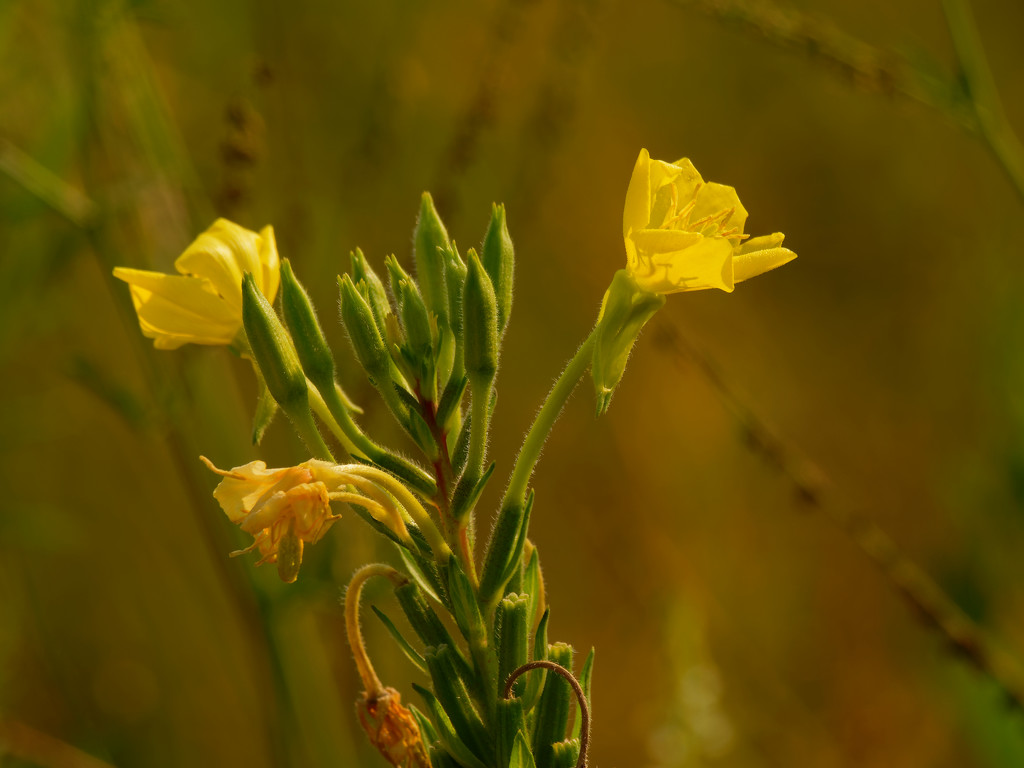 evening primrose by rminer