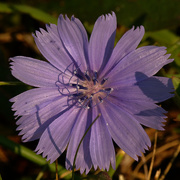 24th Aug 2020 - chicory
